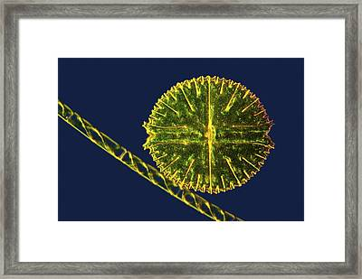 Green Algae, Light Micrograph Framed Print by Science Photo Library