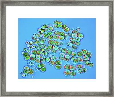 Green Algae Framed Print