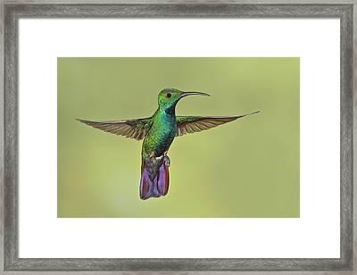 Green-breasted Mango Costa Rica Framed Print by Glenn Bartley