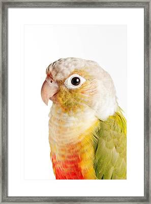 Green-cheeked Conure Pineapple P Framed Print