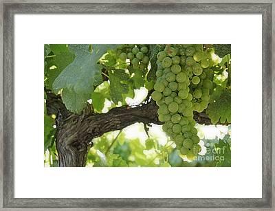 Green Grapes On Vineyards In Summer Framed Print by Sami Sarkis