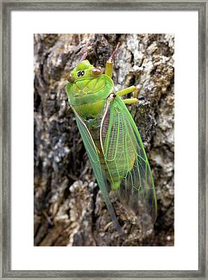 Green Grocer Cicada Framed Print by Dr Jeremy Burgess
