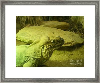 Green Iguana  Framed Print by Ann Fellows