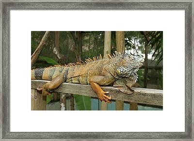 Green Iguana (iguana Iguana Framed Print