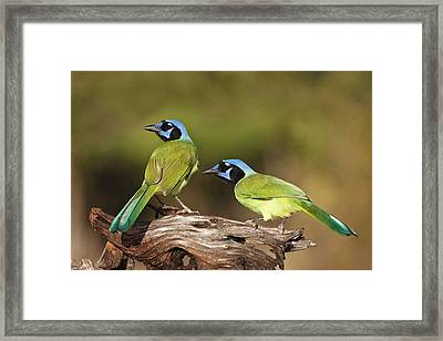 Green Jays (cyanocoras Yncas Framed Print by Larry Ditto