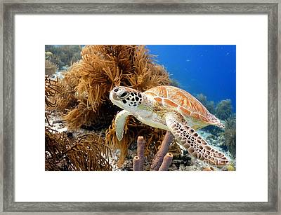 Green Sea Turtle Framed Print