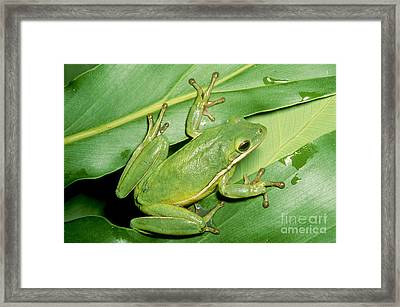 Green Tree Frog Framed Print by Millard H. Sharp