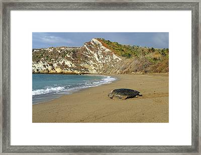 Green Turtle Returning To Sea Framed Print