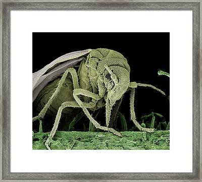 Greenhouse Whitefly Framed Print by Clouds Hill Imaging Ltd
