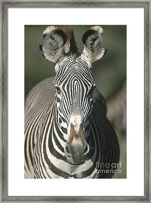 Grevys Zebra Framed Print by Art Wolfe