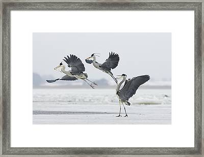 Grey Heron Trio Fighting Over Fish Framed Print