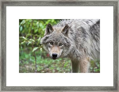 Grey Wolf Framed Print by Dr P. Marazzi