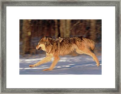 Grey Wolf Running Framed Print by William Ervin/science Photo Library
