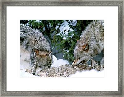 Grey Wolves With A Kill Framed Print by William Ervin/science Photo Library
