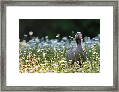 Greylag Goose (anser Anser Framed Print by Martin Zwick