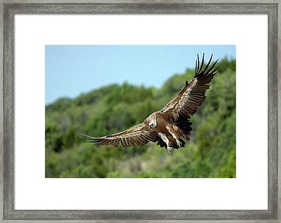 Griffon Vulture Framed Print by Nicolas Reusens