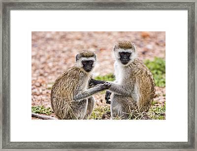 Grivet Monkey Chlorocebus Aethiops Framed Print by Eyal Bartov