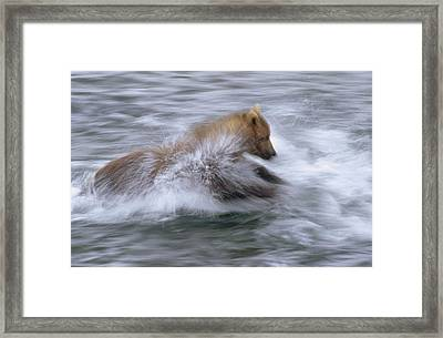 Grizzly Bear Chasing Fish Framed Print by Matthias Breiter