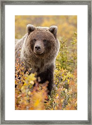 Grizzly Bear In Autumn Framed Print by Tim Grams