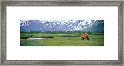 Grizzly Bear Ursus Arctos Horribilis Framed Print by Panoramic Images
