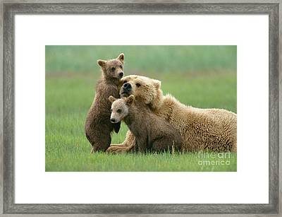 Grizzly Cubs Play With Mom Framed Print by Yva Momatiuk John Eastcott