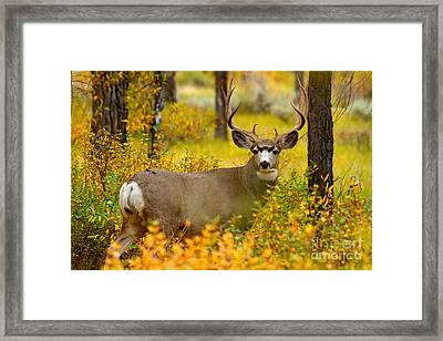 Framed Print featuring the photograph Gros Ventre Buck by Aaron Whittemore