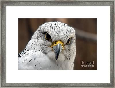 Gryfalcon Close Up Framed Print