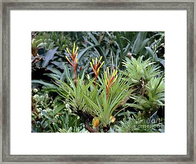 Guzmania Dissitiflora Framed Print by Vaughan Fleming