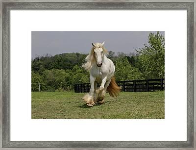 Gypsy Vanner Horse Running, Crestwood Framed Print
