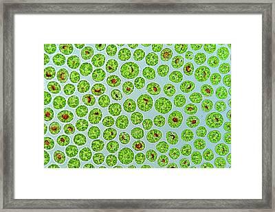 Haematococcus Algae Framed Print