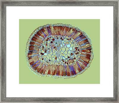 Hakea Drupacea Leaf Framed Print by Steve Lowry