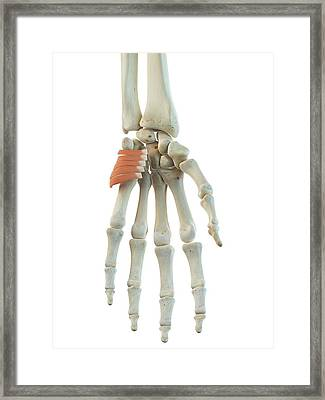 Hand Muscle Framed Print by Sciepro