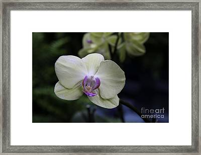 Happiness Is An Orchid  Framed Print by Martha Burger