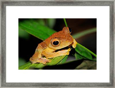 Harlequin Flying Frog, Malaysia Framed Print by Fletcher & Baylis