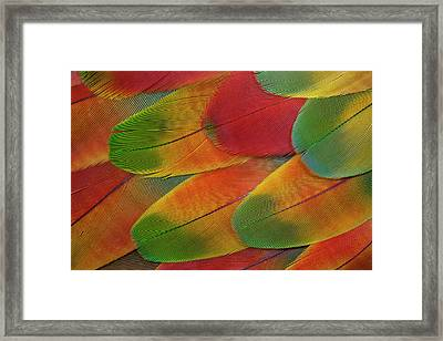 Harlequin Macaw Wing Feather Design Framed Print by Darrell Gulin