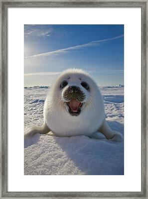 Harp Seal Pup On Ice, Iles De La Framed Print by Keren Su