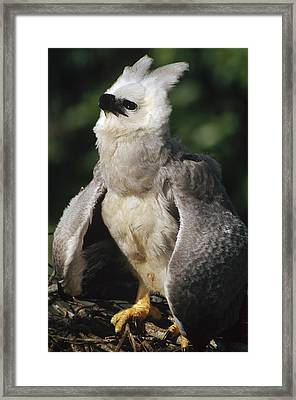 Harpy Eagle Threat Posture Amazonian Framed Print by Tui De Roy