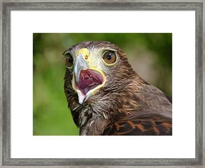 Harris Hawk Framed Print by Nigel Downer
