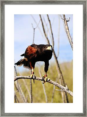 Harris's Hawk Framed Print by Bonnie Fink