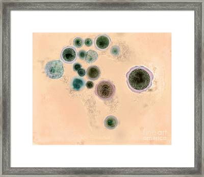 Hartmannella Vermiformis Protozoa Cysts Framed Print