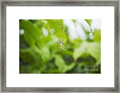 Hawaii, Oahu, Water Droplets On Curly Lilikoi Vine Tendril. Framed Print