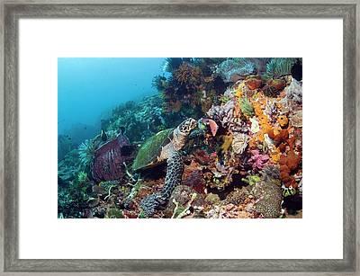 Hawksbill Sea Turtle Framed Print by Georgette Douwma