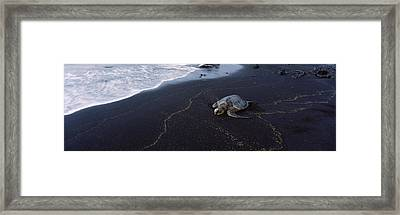 Hawksbill Turtle Eretmochelys Imbricata Framed Print by Panoramic Images