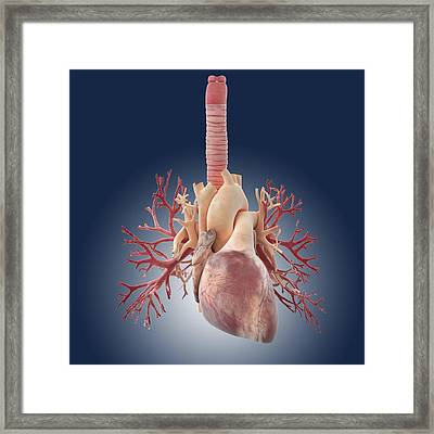 Heart And Lungs, Artwork Framed Print