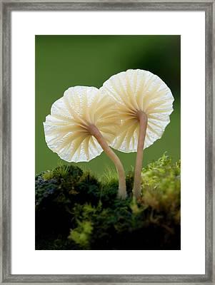 Heath Navel Fungus Framed Print by Nigel Downer
