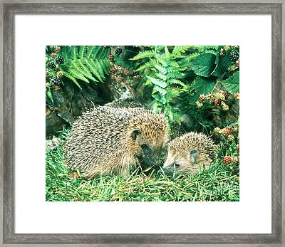 Hedgehog With Young Framed Print by Hans Reinhard