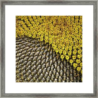Helianthus Sunflower Seeds Close Up Framed Print by Mark Sykes