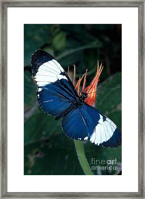 Heliconius Butterfly Heliconius Cydno Framed Print