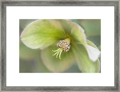 Helleborus Two Framed Print