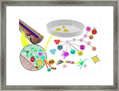 Hematopoietic Stem Cells Framed Print by Carol & Mike Werner